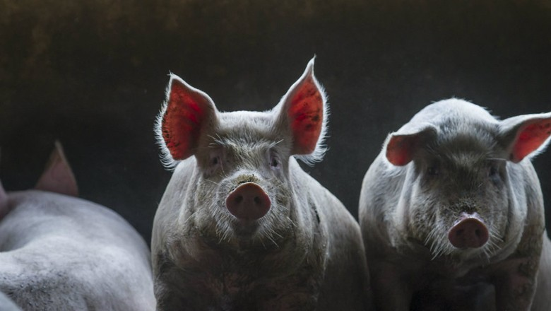 criação_suínos_porcos (Foto: Rogério Albuquerque / Editora Globo)