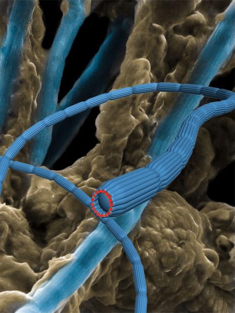 Ilustração mostra como é a bactéria-cabo, organismo encontrado no fundo do mar que produz correntes elétricas (Foto: Mingdong Dong, Jie Song e Nils Risgaard-Petersen/Nature)