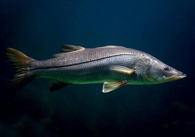 Resultado de imagem para robalo peixe