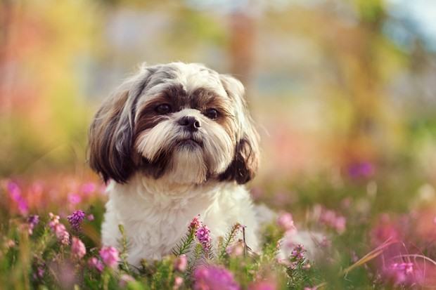 Shih tzu in nature, colorful  springtime image (Foto: Getty Images/iStockphoto)