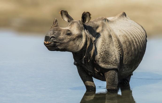 MATE UM ANIMAL EM EXTINÇÃO / CAÇA - Na África do Sul, alguns fazendeiros oferecem aos turistas a oportunidade de caçar rinocerontes, uma espécie ameaçada de extinção porque o chifre custa muito caro no mercado negro, por US$ 150 mil (Foto: Thinkstock)