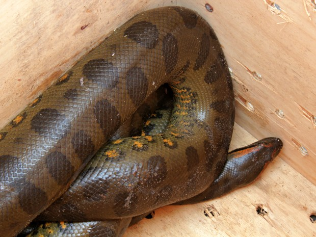 Cobras são agentes de controle população de ratos, afirmou analista ambiental do Ipaam  (Foto: Tiago Melo/G1 AM)