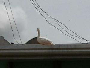 Animal foi resgatado pela Polícia Ambiental, após passar 7h no telhado (Foto: Regina Lúcia dos Reis/Arquivo pessoal)