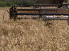 Excesso de trigo dificulta venda do grão produzido em lavouras do PR