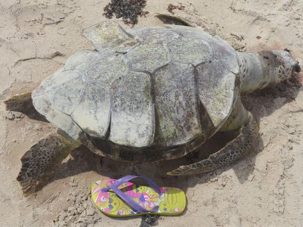 Em três dias quatro tartarugas marinhas foram encontradas mortas na praia do Bessa, em João Pessoa  (Foto: (Foto: Rita Mascarenhas/Arquivo pessoal))
