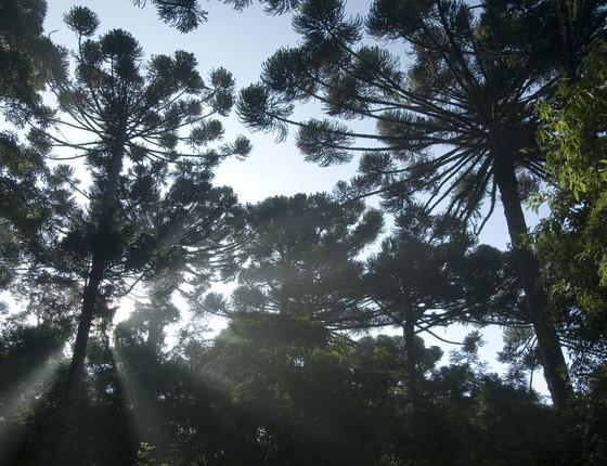 Floresta com araucária em Curitiba (Foto: Zig Koch/Divulgação SPVS)