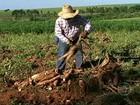 Safra da mandioca vive fases diferentes no Sul e no Nordeste