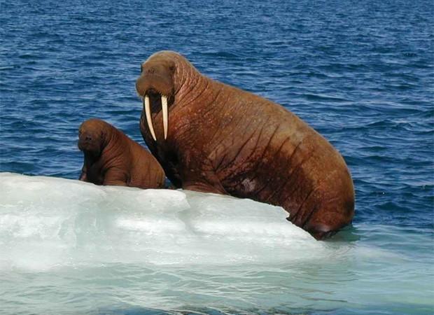 Morsa descansa com filhote sobre bloco de gelo (Foto: Divulgação/University of Alaska Anchorage)