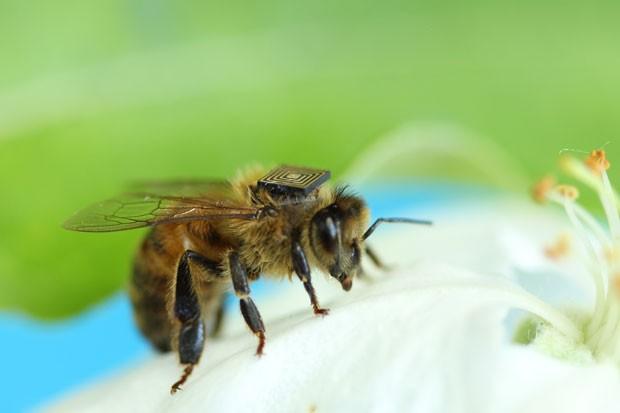 Exemplar de abelha usa microssensor desenvolvido por cientista brasileiro. Testes feitos na Tasmânia, Austrália, tenta identificar se pesticidas tem causado a morte de insetos, responsáveis pela polinização natural (Fot Divulgação/Csiro- Austrália)