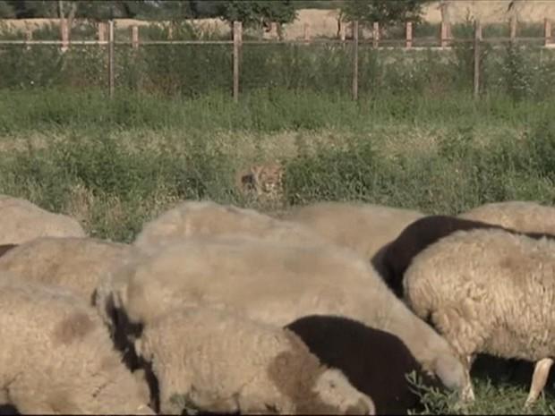 Criada por fazendeiro, leoa foi treinada para vigiar rebanho em fazenda (Foto: BBC)