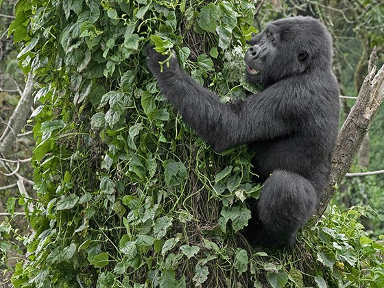 Um jovem gorila sobe em uma árvore cercada de trepadeiras para comer as folhas. (Foto: © Haroldo Castro/Época)