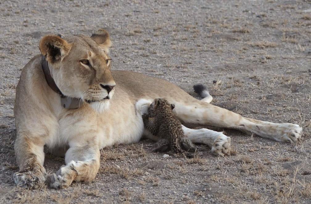 Caso foi registrado em área de conservação da Tanzânia (Foto: Joop van der Linde/Ndutu Safari Lodge via AP)