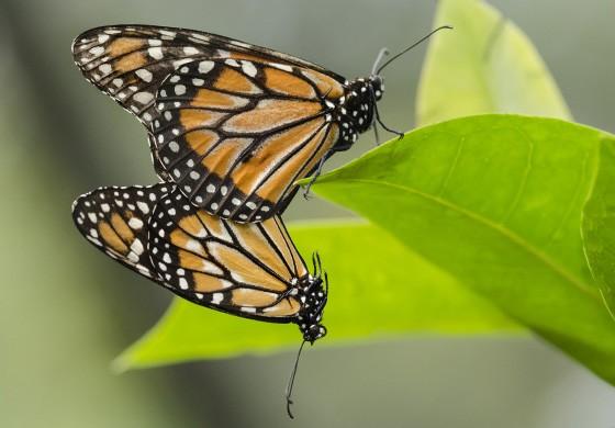 A monarca-do-sul (Danaus erippus) pode chegar a 11 cm mas não realiza a migração que sua prima Dannus plexippus faz entre os Estados Unidos e o México  (Foto: © Haroldo Palo Jr/Vento Verde)