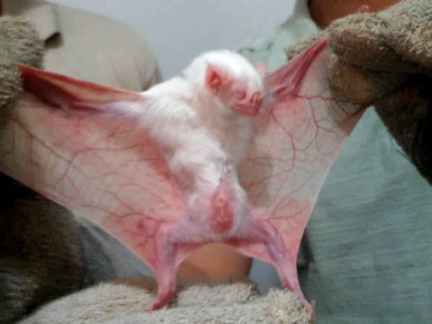 Raro morcego vampiro albino foi capturado em ação da Adepará (Foto: Divulgação/ Adepará)
