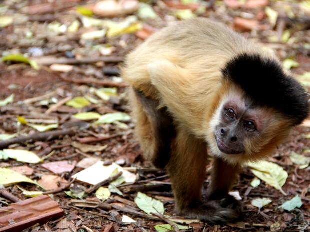 Macaco foi retirado da família pela Justiça e levado para associação em Assis (Foto: Fabio Rodrigues/G1)