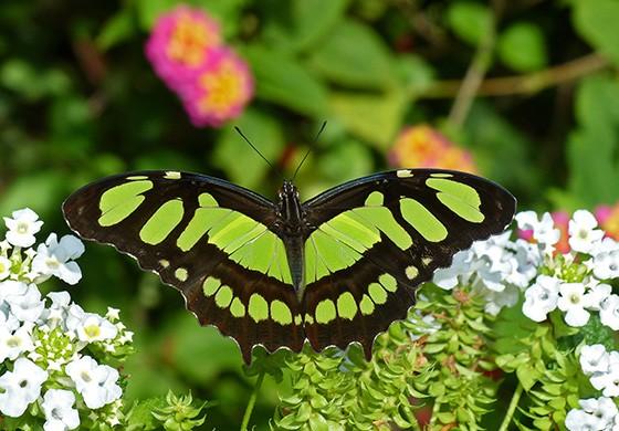 Uma das lembranças de minha infância é a malaquita (Siproeta stelenes meridionalis), uma borboleta que chega a 10 cm; fotografada em Teresópolis, Rj (Foto: © Antonio Carlos Fiorito Jr)