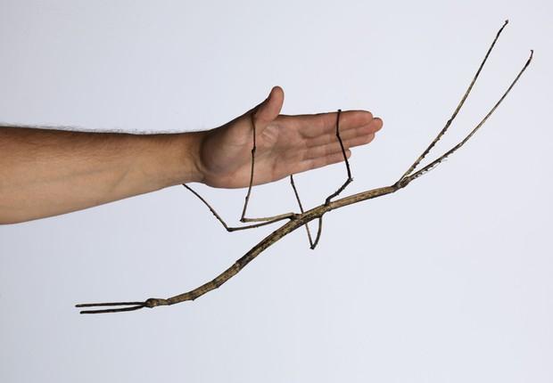 Cientistas chineses criam o maior inseto do mundo, um bicho pau que mede 64 cm (Foto: Reprodução/Twitter)