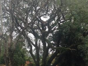 Onça subiu na árvore após se assustar com cão, diz caseiro (Foto: Arquivo Pessoal/ Paulo Amaral)