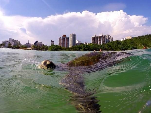 Tartaruga é flagrada em Guarujá, SP (Foto: Lucas Trk / Arquivo Pessoal)