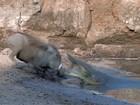 Javali escapa de ataque incrível de crocodilo em rio em Zâmbia