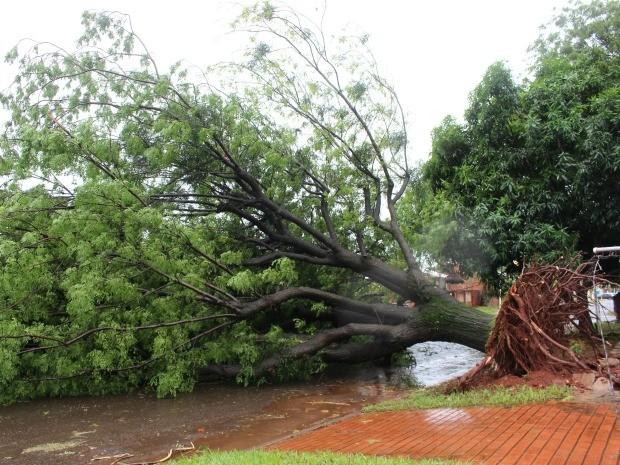 Árvore caiu na rua Cuiabá, no Jardim Leblon em Campo Grande (Foto: Glaucea Vaccari/G1 MS)
