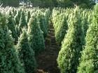 Seca atrapalha o desenvolvimento da tuia, pinheiro tradicional de Natal