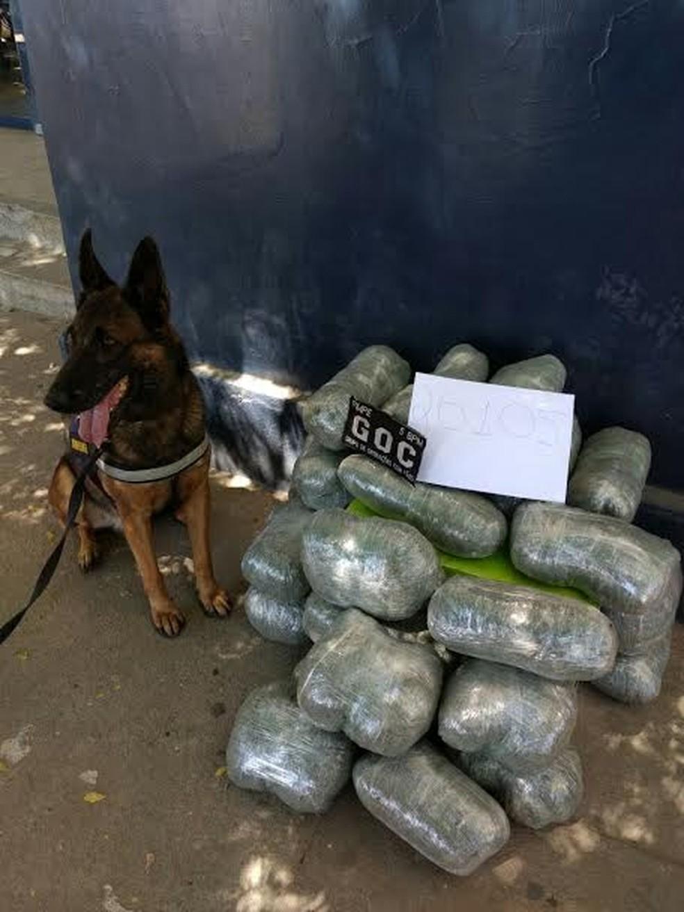 Maconha foi encontrada com a ajuda de um cão farejador da Polícia Militar (Foto: DSivulgação / Polícia Militar)