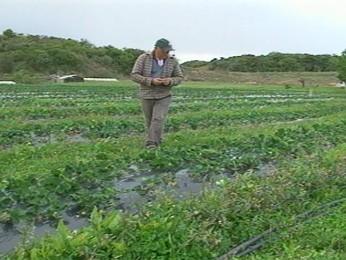 Granizo plantação de morango (Foto: Reprodução/RBS TV)