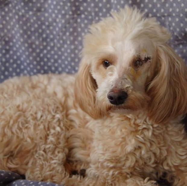 Penélope, nova cachorrinha de Tatá Werneck e Rafael Vitti (Foto: Reprodução/Instagram)