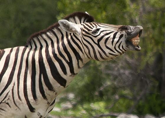 Em Etosha, uma zebra macho relincha para se comunicar com sua tropa  (Foto: © Haroldo Castro/ÉPOCA)
