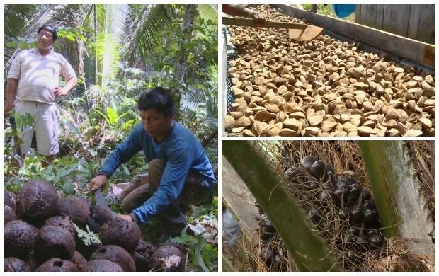 Depois de coletadas, as castanhas são lavas e colocadas para secar (Foto: Bom Dia Amazônia)