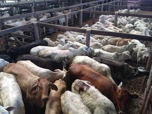 Mais de mil bovinos foram doados para leilão beneficente em Ariquemes (Foto: Eliete Marques/G1)