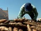 Produtores de mandioca finalizam a colheita com otimismo no PR