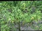 Polícia Civil investiga dono de plantação de maconha em Goiás