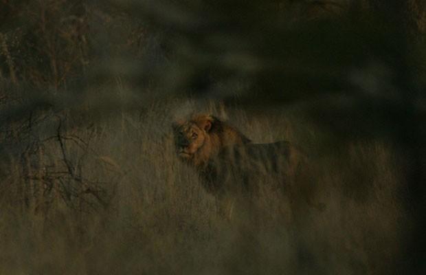 Leão Jericho foi fotografado por pesquisadores da Universidade de Oxford para provar que ele está vivo. (Foto: Divulgação/WILDCRU)