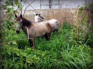 Cavalos usados em assaltos na zona leste de Teresina (Foto: Felipe Pereira/TV Clube)