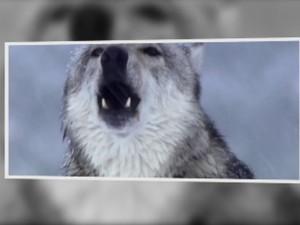 Teorias apontam que cães descenderam dos lobos (Foto: Reprodução/TV TEM)