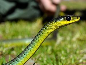 Serpente verde é inofensiva (Foto: Saeed Khan/AFP)