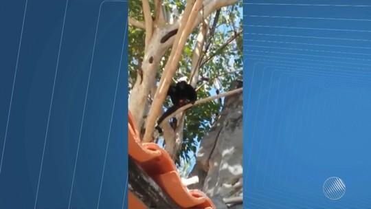 Aumento de frutas na primavera  atrai macacos a Bom Jesus da Lapa