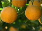 Produtores de laranja de SP estão desanimados com os preços
