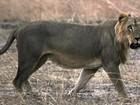 Leões caminham para extinção na África Ocidental, diz pesquisa