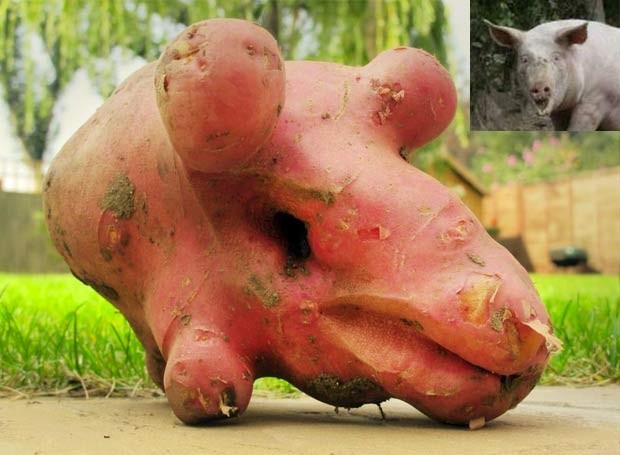 Em 2011, um agricultor inglês colheu uma batata com uma estranha semelhança com um suíno. A batata ganhou destaque em mercado agrícola em Southwold, no Reino Unido. A foto da 'batata porco' foi publicada pelo mercado em sua página no Facebook (Foto: Reprodução/Facebook/Southwold Farmers Market)