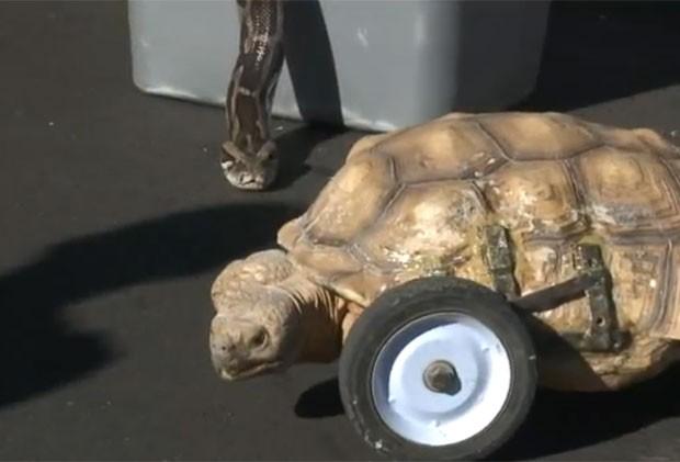 Tartaruga com três patas também estava na van. (Foto: Reprodução)