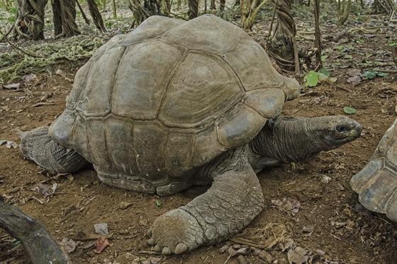 A presença da tartaruga-gigante-de-aldabra (Aldabrachelys gigantea) na Ilha das Garças apoia a expansão das florestas de ébanos  (Foto: © Haroldo Castro/ÉPOCA)