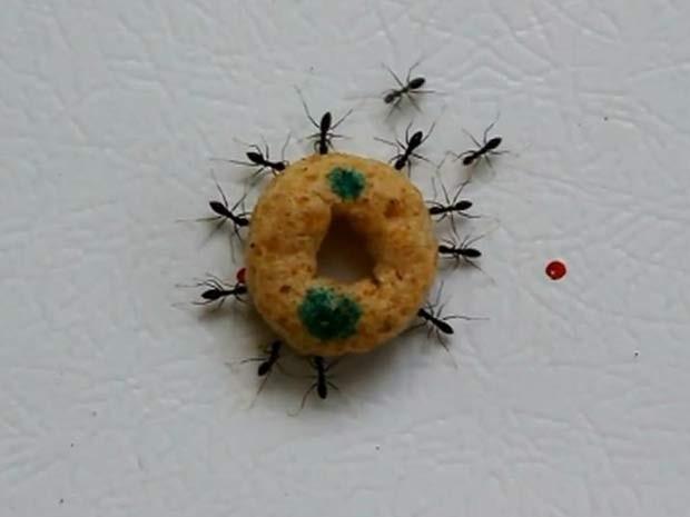 Para cientistas, as formigas parecem ter a quantidade exata de 'individualismo errático' para funcionarem em grupo (Foto: Ehud Fonio, Ofer Feinerman/ BBC)