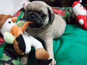 Lojas de São Paulo vendem produtos temáticos de Natal para pets (Foto: Fábio Tito/G1)