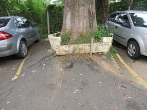 Segundo moradores, laudo da Prefeitura prova que árvores estão comprometidas. (Foto: Maria Cristina Menezes/Arquivo Pessoal)