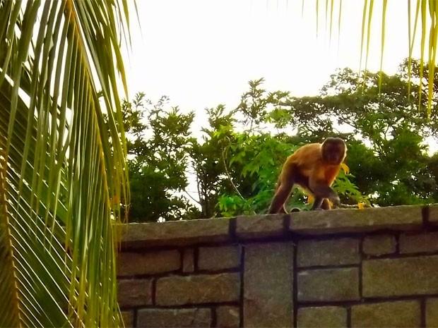 Macacos prego estão descendo a Serra do Lima. Os animais entram nas casas dos moradores em busca de comida e água (Foto: Bruno Campelo)