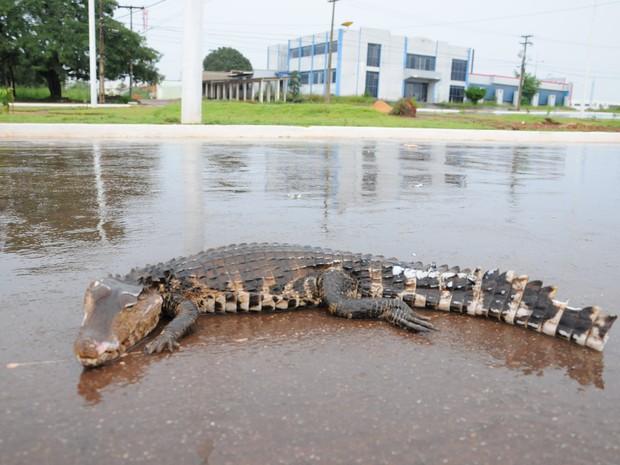 Jornalista disse que o Jacaré tinha cerca de um metro de comprimento (Foto: Wilson Rodrigues/Divulgação)
