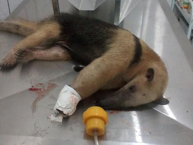 Tamanduá foi resgatado com sinais de maus tratos (Foto: Divulgação/Polícia Militar Ambiental)